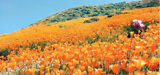 HOW TO SEE THE SOUTHERN CALIFORNIA 'SUPER BLOOM' BEFORE TIME RUNS OUT